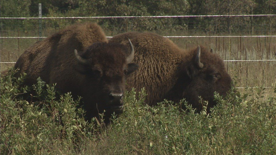 KEYC - Mankato News, Weather, Sports - - Bison Introduced to ...